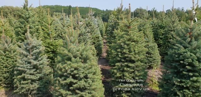 Ель зелёная колючая Глаука (Picea pungens Glauca) ФОТО Питомник растений Природа (16)