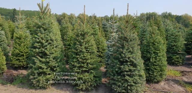 Ель зелёная колючая Глаука (Picea pungens Glauca) ФОТО Питомник растений Природа (18)