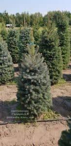Ель зелёная колючая Глаука (Picea pungens Glauca) ФОТО Питомник растений Природа (3)