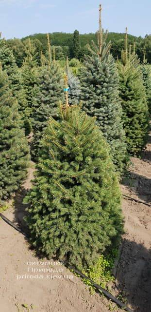 Ель зелёная колючая Глаука (Picea pungens Glauca) ФОТО Питомник растений Природа (4)