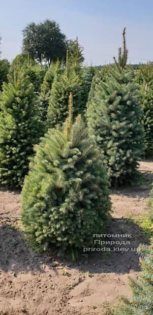 Ель зелёная колючая Глаука (Picea pungens Glauca) ФОТО Питомник растений Природа (5)