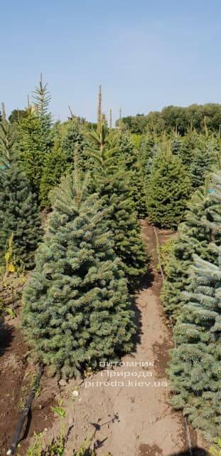 Ель зелёная колючая Глаука (Picea pungens Glauca) ФОТО Питомник растений Природа (6)