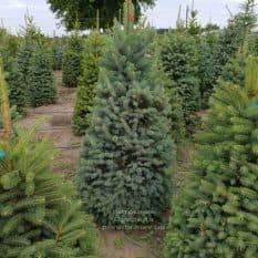 Ель зелёная колючая Глаука (Picea pungens Glauca) ФОТО Питомник растений Природа (7)