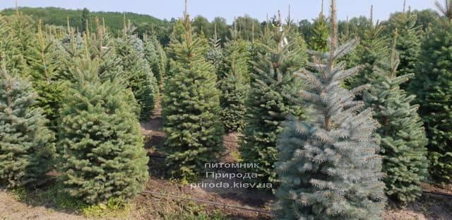 Ель зелёная колючая Глаука (Picea pungens Glauca) ФОТО Питомник растений Природа (8)