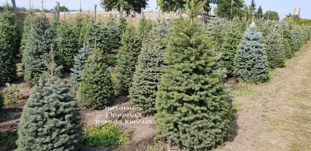Ель зелёная колючая Глаука (Picea pungens Glauca) ФОТО Питомник растений Природа (9)