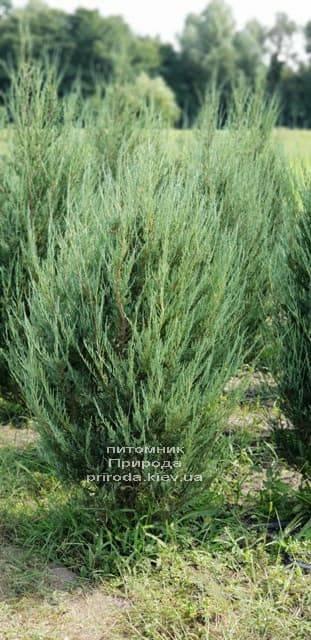 Можжевельник скальный Скайрокет (Juniperus scopulorum Skyrocket) ФОТО Питомник растений Природа (10)