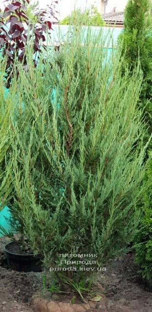Можжевельник скальный Скайрокет (Juniperus scopulorum Skyrocket) ФОТО Питомник растений Природа (12)