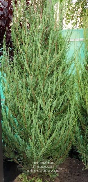 Можжевельник скальный Скайрокет (Juniperus scopulorum Skyrocket) ФОТО Питомник растений Природа (15)