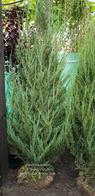 Можжевельник скальный Скайрокет (Juniperus scopulorum Skyrocket) ФОТО Питомник растений Природа (16)