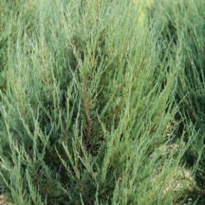 Можжевельник скальный Скайрокет (Juniperus scopulorum Skyrocket) ФОТО Питомник растений Природа (17)