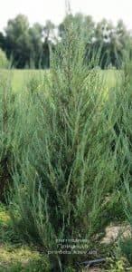 Можжевельник скальный Скайрокет (Juniperus scopulorum Skyrocket) ФОТО Питомник растений Природа (18)
