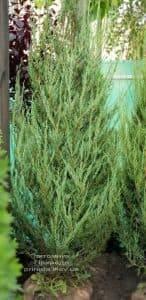 Можжевельник скальный Скайрокет (Juniperus scopulorum Skyrocket) ФОТО Питомник растений Природа (19)