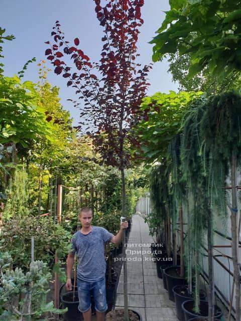 Слива растопыренная Нигра (Prunus cerasifera Nigra) ФОТО Питомник растений Природа (1)