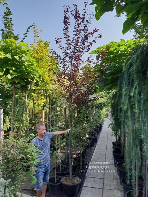 Слива растопыренная Нигра (Prunus cerasifera Nigra) ФОТО Питомник растений Природа (3)