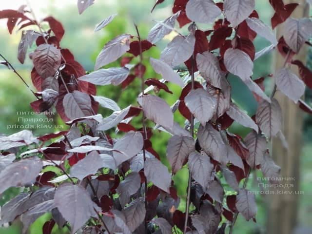Слива растопыренная Нигра (Prunus cerasifera Nigra) ФОТО Питомник растений Природа (4)