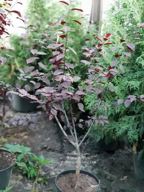 Слива растопыренная Писсарди (Prunus cerasifera Pissardii) ФОТО Питомник растений Природа (3)