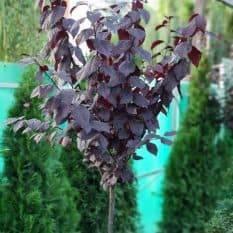 Слива растопыренная Писсарди (Prunus cerasifera Pissardii) ФОТО Питомник растений Природа (5)