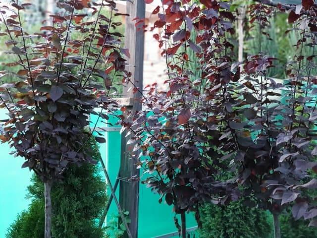 Слива растопыренная Писсарди (Prunus cerasifera Pissardii) ФОТО Питомник растений Природа (9)