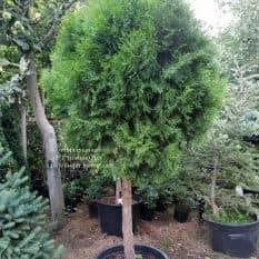 Туя Смарагд на штамбе ФОТО Питомник растений Природа (1)
