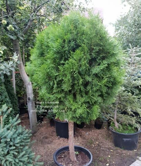 Туя Смарагд на штамбе ФОТО Питомник растений Природа (2)