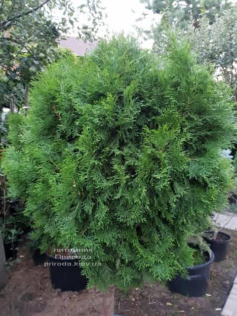 Туя Смарагд на штамбе ФОТО Питомник растений Природа (3)
