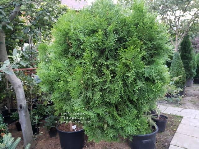 Туя Смарагд на штамбе ФОТО Питомник растений Природа (4)