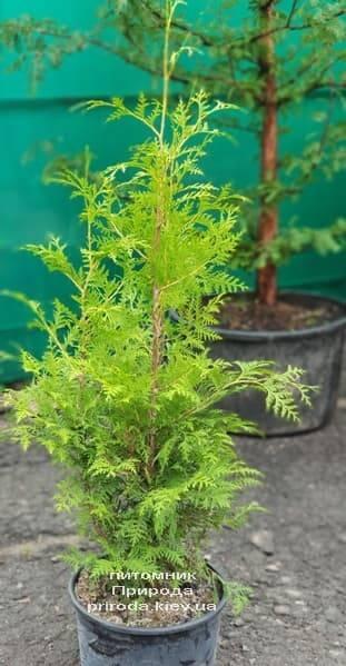 Туя западная Брабант (Thuja occidentalis Brabant) ФОТО Питомник растений Природа (41)