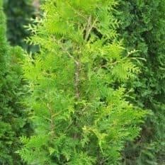 Туя западная Брабант (Thuja occidentalis Brabant) ФОТО Питомник растений Природа (42)