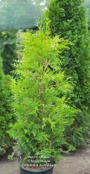 Туя западная Брабант (Thuja occidentalis Brabant) ФОТО Питомник растений Природа (43)