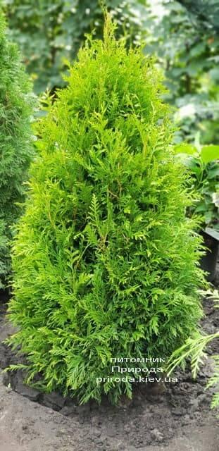 Туя западная Брабант (Thuja occidentalis Brabant) ФОТО Питомник растений Природа (45)