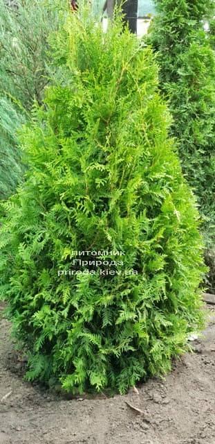 Туя западная Брабант (Thuja occidentalis Brabant) ФОТО Питомник растений Природа (47)