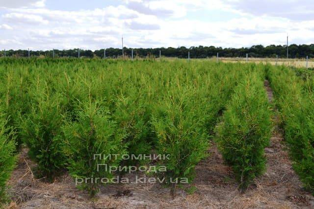 Туя западная Брабант (Thuja occidentalis Brabant) ФОТО Питомник растений Природа (46)
