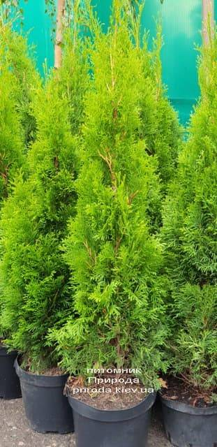 Туя западная Смарагд (Thuja occidentalis Smaragd) ФОТО Питомник растений Природа (1-1)