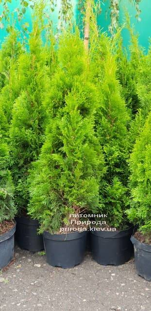 Туя западная Смарагд (Thuja occidentalis Smaragd) ФОТО Питомник растений Природа (2-1)