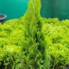Туя западная Смарагд (Thuja occidentalis Smaragd) ФОТО Питомник растений Природа (3)