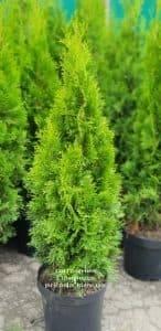 Туя западная Смарагд (Thuja occidentalis Smaragd) ФОТО Питомник растений Природа (50)