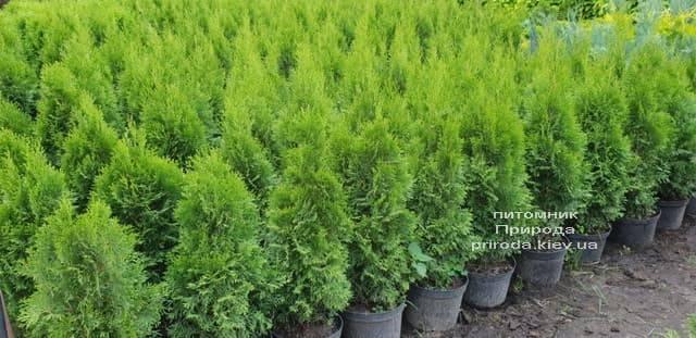 Туя западная Смарагд (Thuja occidentalis Smaragd) ФОТО Питомник растений Природа (51)