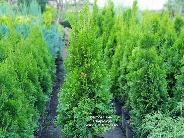Туя западная Смарагд (Thuja occidentalis Smaragd) ФОТО Питомник растений Природа (55)
