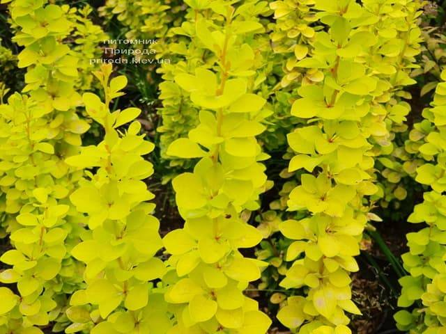 Барбарис Тунберга Мария (Berberis thunbergii Maria) ФОТО Питомник растений Природа (1)