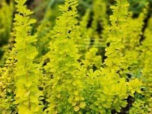 Барбарис Тунберга Мария (Berberis thunbergii Maria) ФОТО Питомник растений Природа (3)