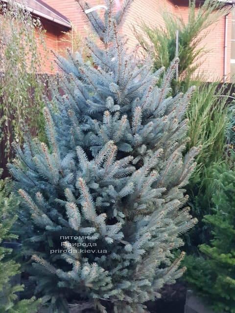 Ель голубая Ель голубая Фат Альберт (Picea pungens Fat Albert) ФОТО Питомник растений Природа (2)