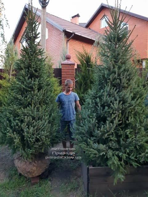Ель Сербская (Picea omorica) ФОТО Питомник растений Природа (1)