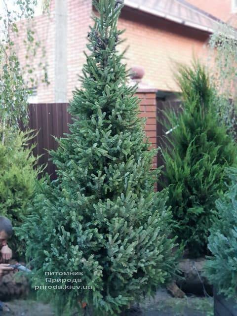 Ель Сербская (Picea omorica) ФОТО Питомник растений Природа (3)