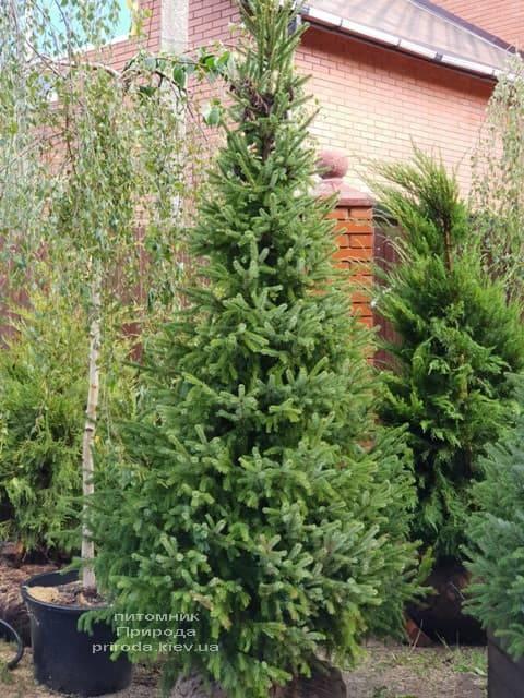 Ель Сербская (Picea omorica) ФОТО Питомник растений Природа (4)