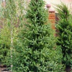 Ель Сербская (Picea omorica) ФОТО Питомник растений Природа (5)