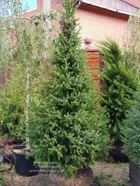 Ель Сербская (Picea omorica) ФОТО Питомник растений Природа (6)