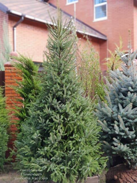 Ель Сербская (Picea omorica) ФОТО Питомник растений Природа (7)