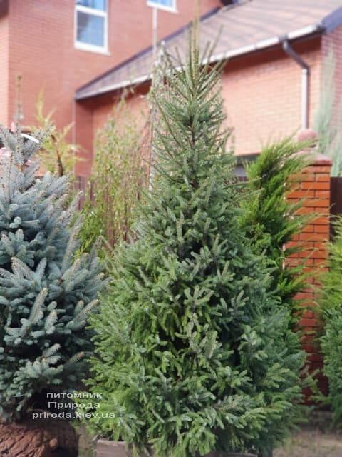 Ель Сербская (Picea omorica) ФОТО Питомник растений Природа (8)