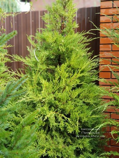 Можжевельник китайский Куривао Голд (Juniperus chinensis Kuriwao Gold) ФОТО Питомник декоративных растений Природа (2)