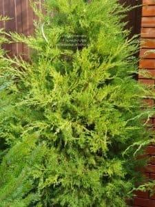 Можжевельник китайский Куривао Голд (Juniperus chinensis Kuriwao Gold) ФОТО Питомник декоративных растений Природа (4)